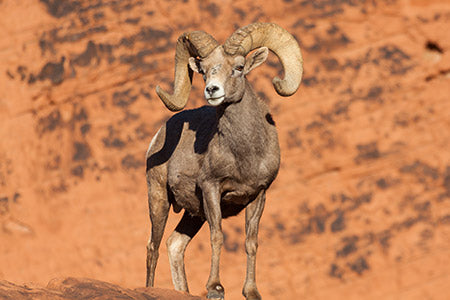 Desert Bighorn Sheep Dream Tag 2021