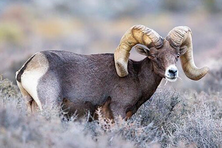 California Bighorn Sheep Dream Tag 2021