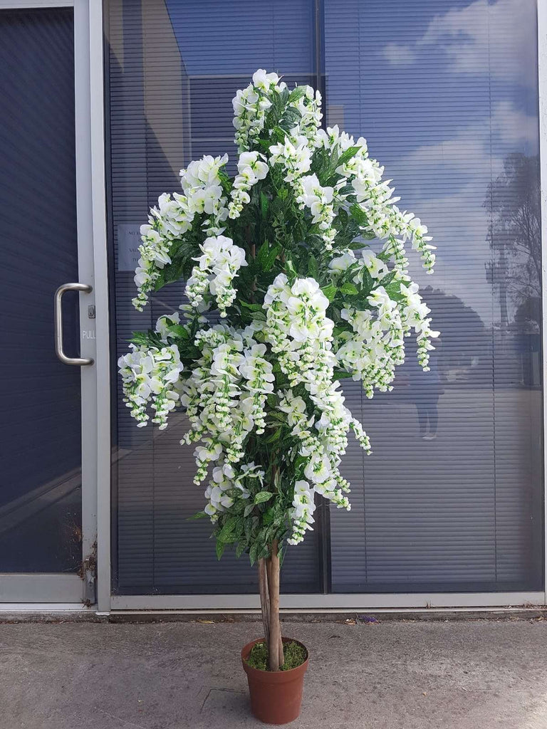 Draping White Flowering Wisteria 185cm