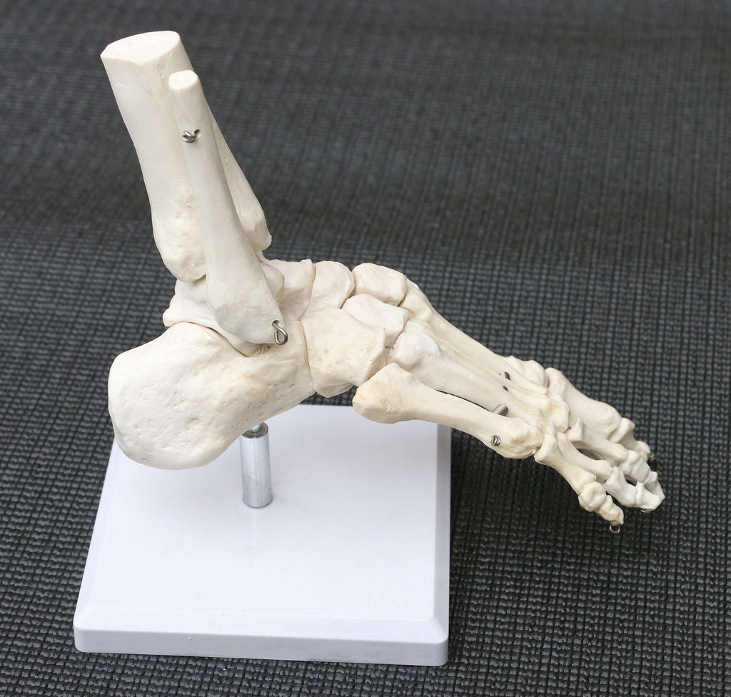 Life Size Foot Joint Anatomical Model Skeleton - Desirable Home Living