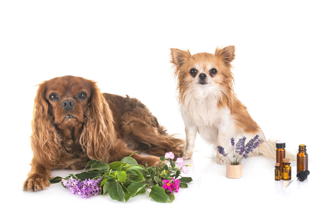 Essential Oils: Good or Bad for Your Dogs?