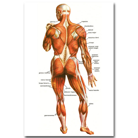 Massage Therapist Human Anatomy Muscles System Art Silk Poster V1