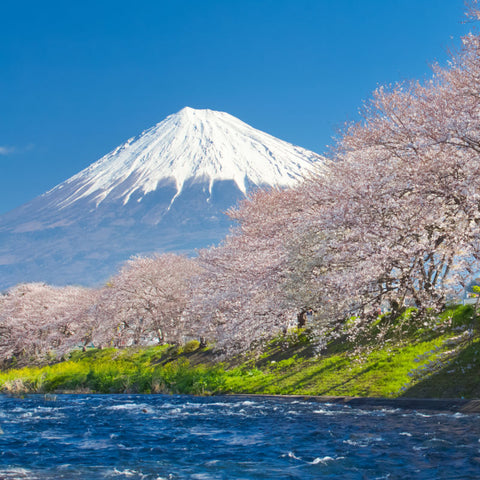 Mount Fuji with Snow and Cherry Trees Bloom