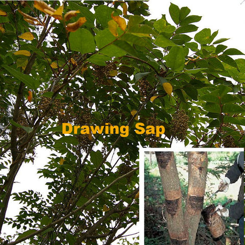Scoring a Urushi Tree and tapping it to get the special sap