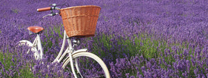 Pashley Britannia in Old English White amongst a lavender field.