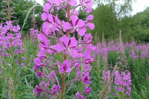 Why we love it - Canadian Willowherb