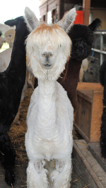 A Beginner's Guide to Picking Out a Huacaya Alpaca Fleece