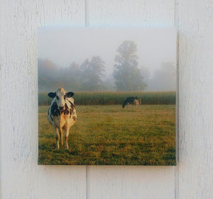Sunlight on Cow
