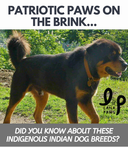 Did You Know About These Indigenous Indian Dog Breeds L Lana Paws Blog