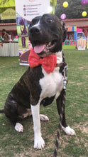 Lana Paws frames bow tie for dogs