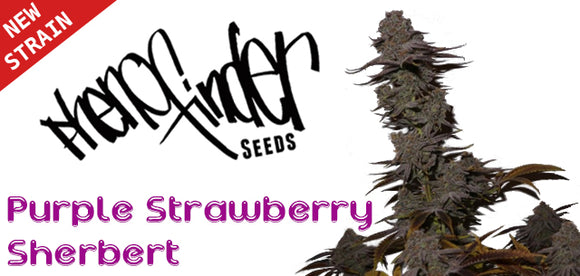 New strain from Pheno Finder Seeds - Purple Strawberry Sherbert feminised