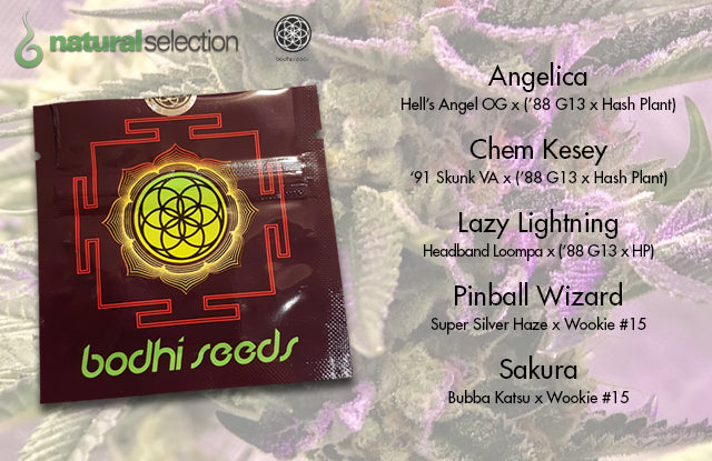 Buy Bodhi Seeds at Natural Selection