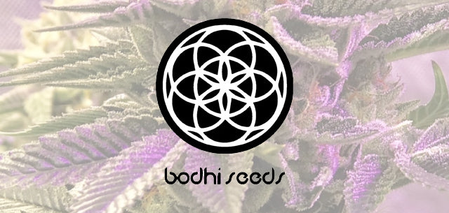 Bodhi Seeds at Natural Selection
