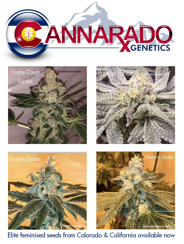 Buy Cannarado seeds from Natural Selection now