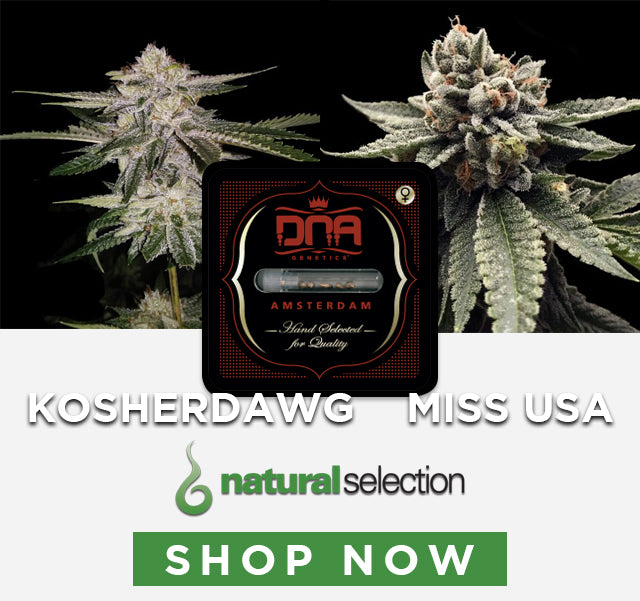 Buy new DNA Genetics strain Kosher Dawg and Miss USA Natural Selection