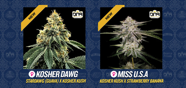 DNA Genetics new strains KosherDawg Miss USA