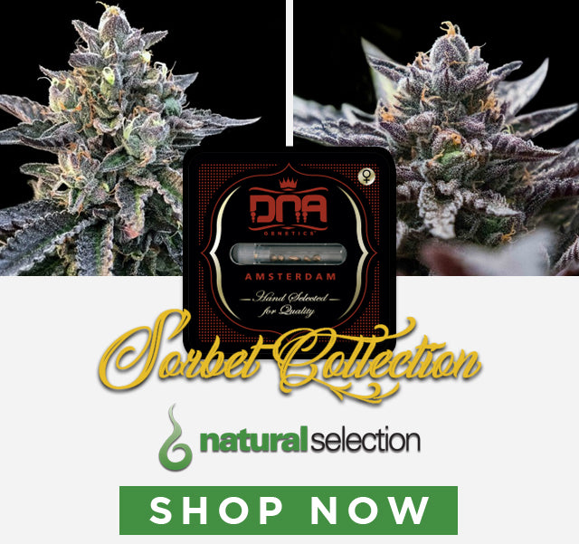 Shop now for DNA Genetics feminised Sorbet Collection cannabis seeds Natural Selection Leeds