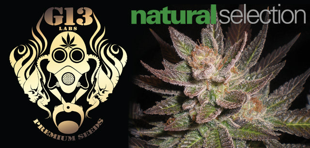 G13 Labs seeds in stock at Natural Selection Leeds