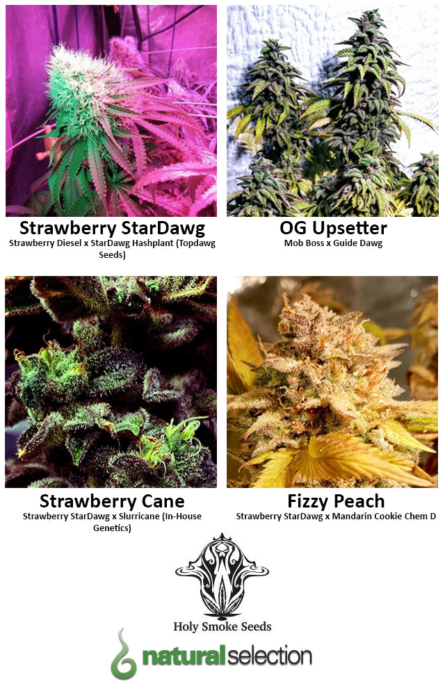 Strawberry StarDawg Strawberry Cane OG Upsetter Fizzy Peach feminised seeds Natural Selection Leeds