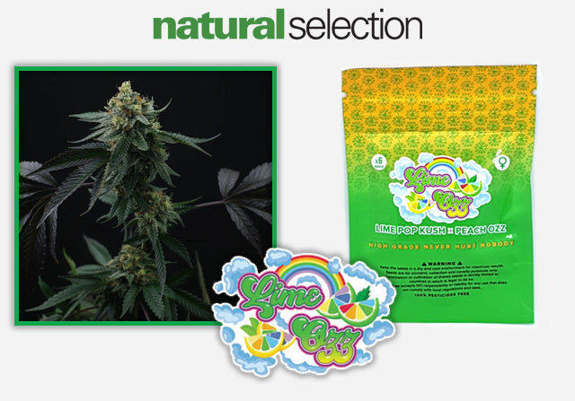 Buy Lime Ozz feminised weed seeds from Natural Selection Leeds!