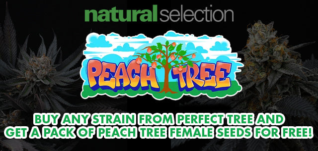 Buy any Perfect Tree strain and get 6 free Peach Tree female cannabis seeds at Natural Selection - available online and in our Leeds shop