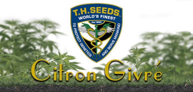 TH Seeds Citron Givre Feminised seeds Natural Selection Leeds