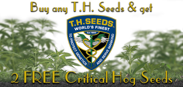 TH Seeds free Critical Hog Seeds