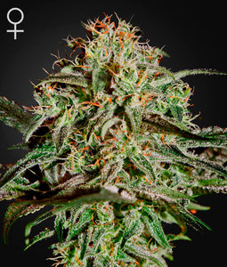 Greenhouse Seed Co. A.M.S Feminised Seeds