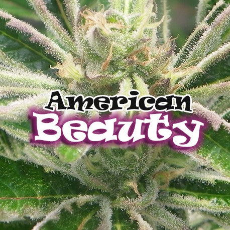Dr. Underground American Beauty Feminised Seeds