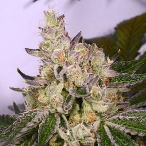 Archive Seed Bank Space Walker Feminised Seeds