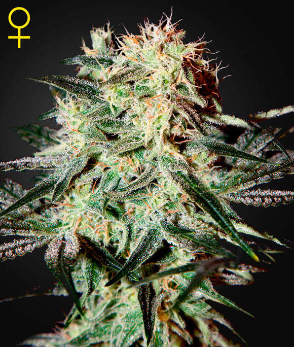 Greenhouse Seed Co. Arjan's Strawberry Haze Feminised Seeds