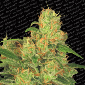 Paradise Seeds Auto Acid Feminised Seeds