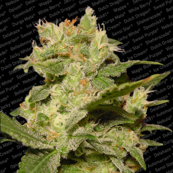 Paradise Seeds Auto Jack Feminised Seeds