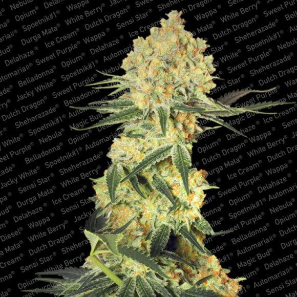 Paradise Seeds Auto Wappa Feminised Seeds