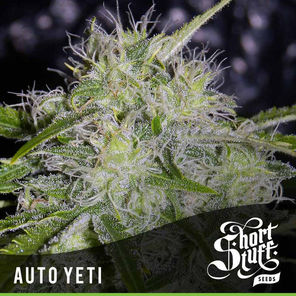 Short Stuff AUTO Yeti Feminised Seeds