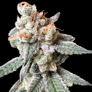 Crockett Family Farms BT7 Feminised Seeds