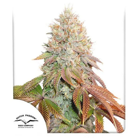 Dutch Passion Banana Blaze AUTO Feminised Cannabis Seeds