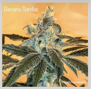 Cannarado Genetics Banana Sundae Feminised Seeds