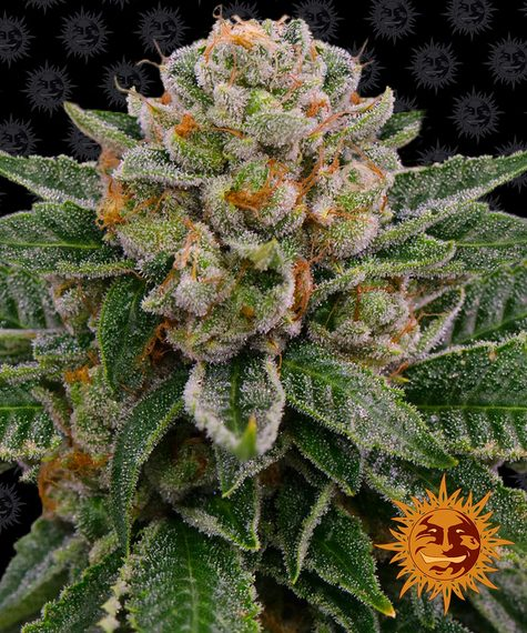 Barney's Farm Skywalker OG AUTO Feminised Seeds