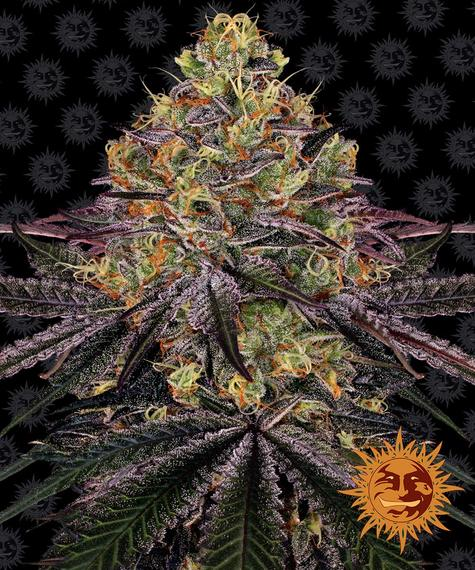 Barney's Farm Watermelon Zkittlez Feminised Seeds