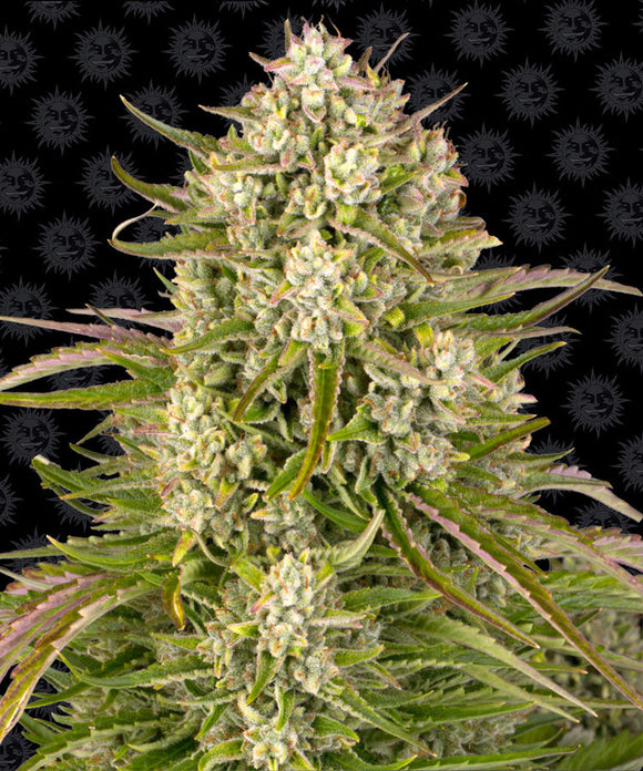Barney's Farm Wedding Cake AUTO Feminised Seeds