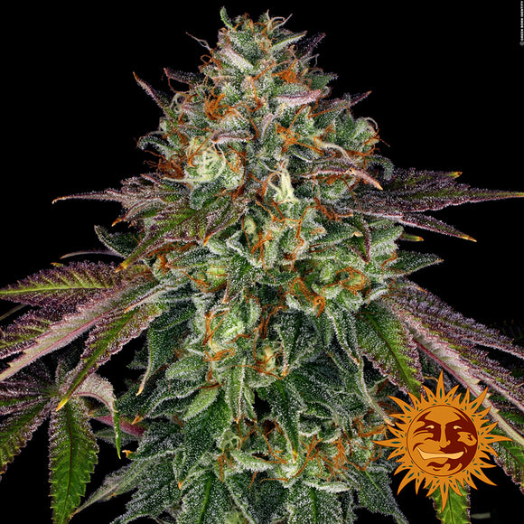 Barney's Farm Wedding Cake Feminised Seeds