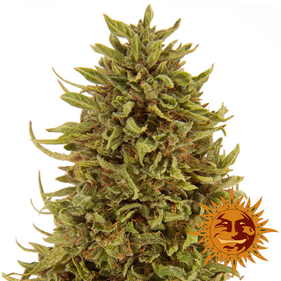 Barney's Farm Pineapple Express Autoflowering Feminised Seeds
