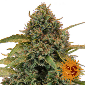 Barney's Farm Bad Azz Kush Feminised Seeds
