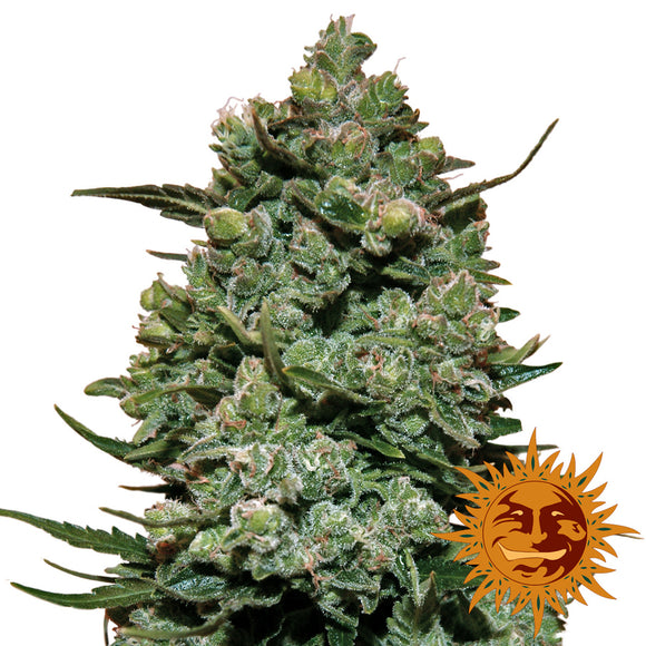 Barney's Farm Cookies Kush Feminised Seeds