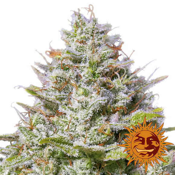 Barney's Farm Blue Gelato 41 Feminised Seeds