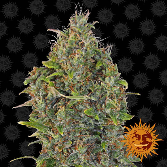 Barney's Farm Critical Kush AUTO Feminised Seeds