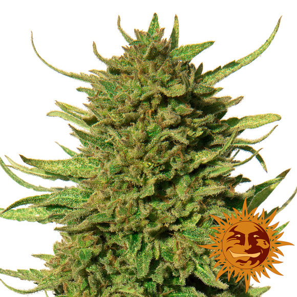 Barney's Farm Critical Kush Feminised Seeds