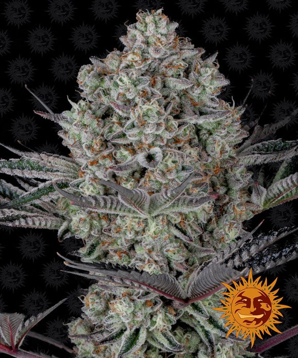 Barney's Farm Dos Si Dos 33 Feminised Seeds