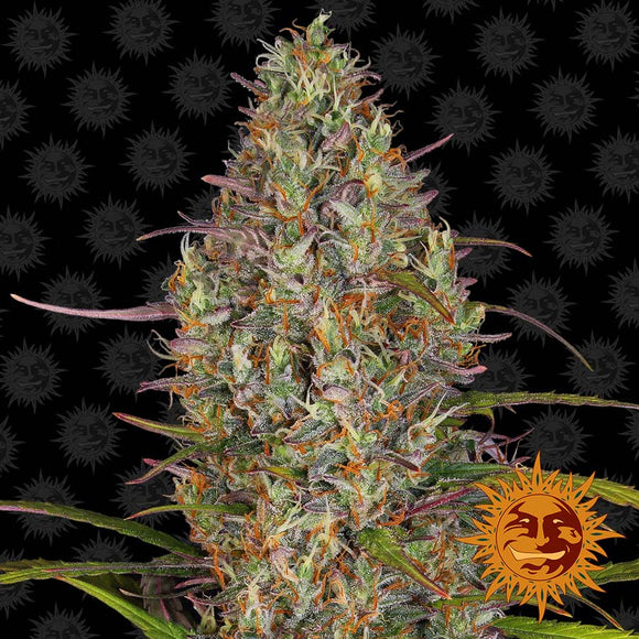 Barney's Farm Glue Gelato AUTO Feminised Seeds